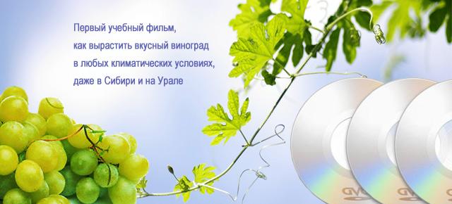 «Растет в Сибири виноград…»